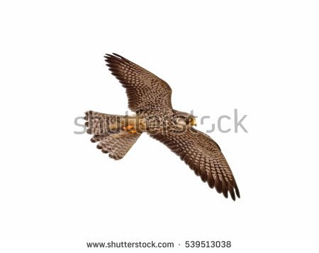 Amur Falcon clipart #15, Download drawings