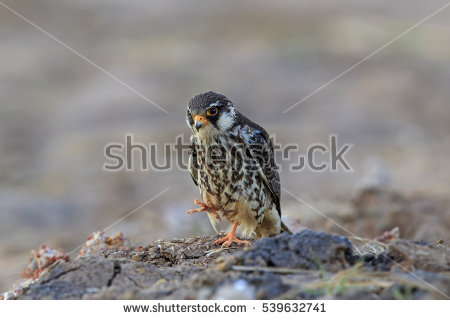 Amur Falcon clipart #12, Download drawings