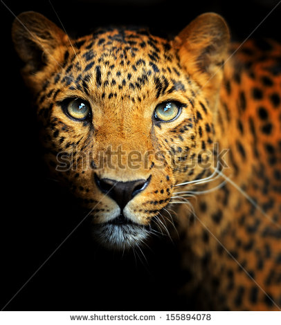 Amur Leopard clipart #8, Download drawings