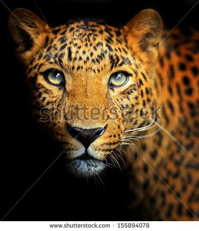 Amur Leopard clipart #8, Download drawings