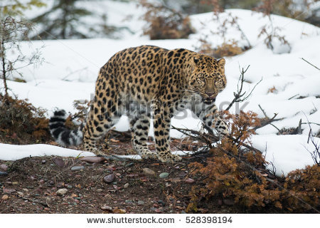 Amur Leopard clipart #10, Download drawings