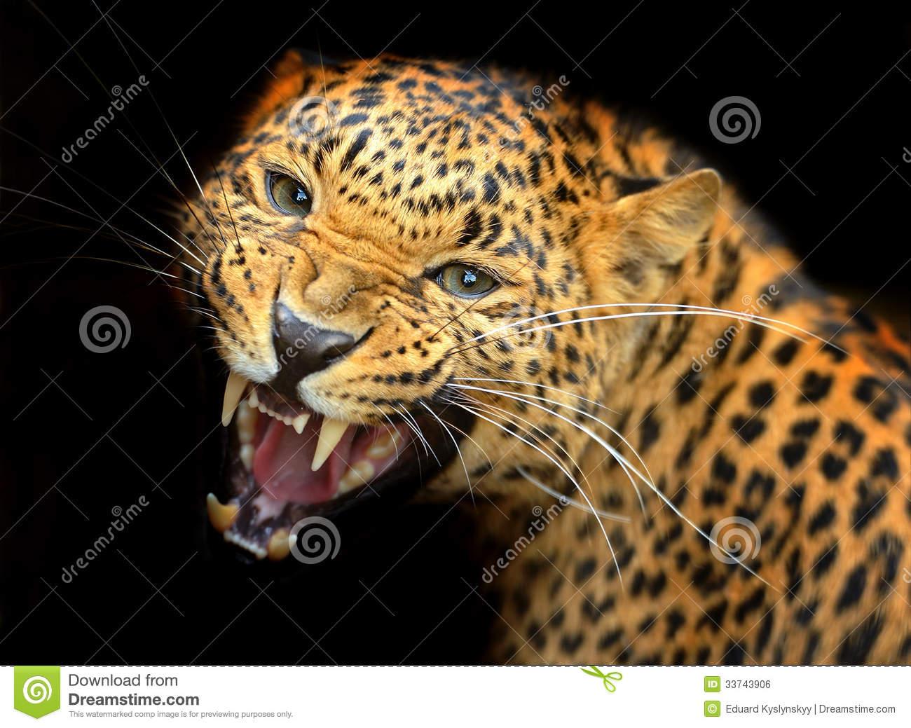 Amur Leopard clipart #14, Download drawings