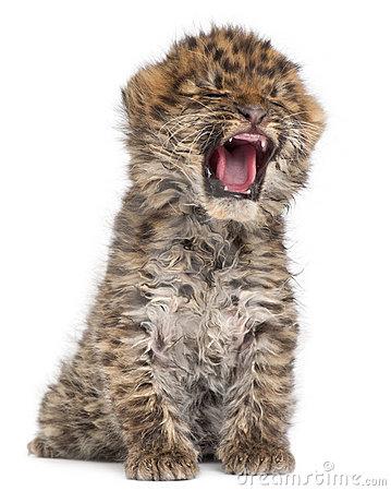 Amur Leopard clipart #15, Download drawings