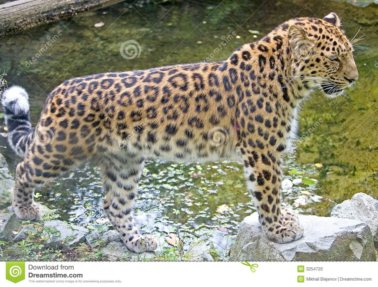 Amur Leopard clipart #16, Download drawings