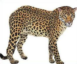 Amur Leopard clipart #1, Download drawings