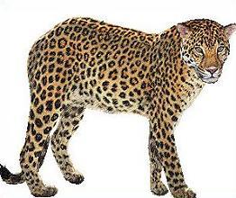 Amur Leopard clipart #1, Download drawings