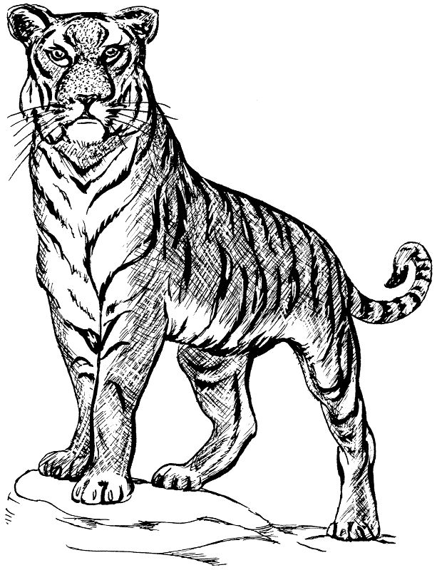 Amur Tiger clipart #19, Download drawings