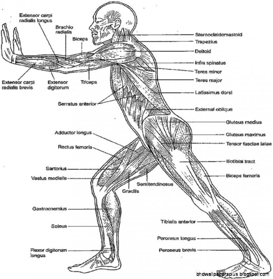 Anatomy coloring #9, Download drawings