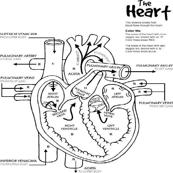 Anatomy coloring #19, Download drawings