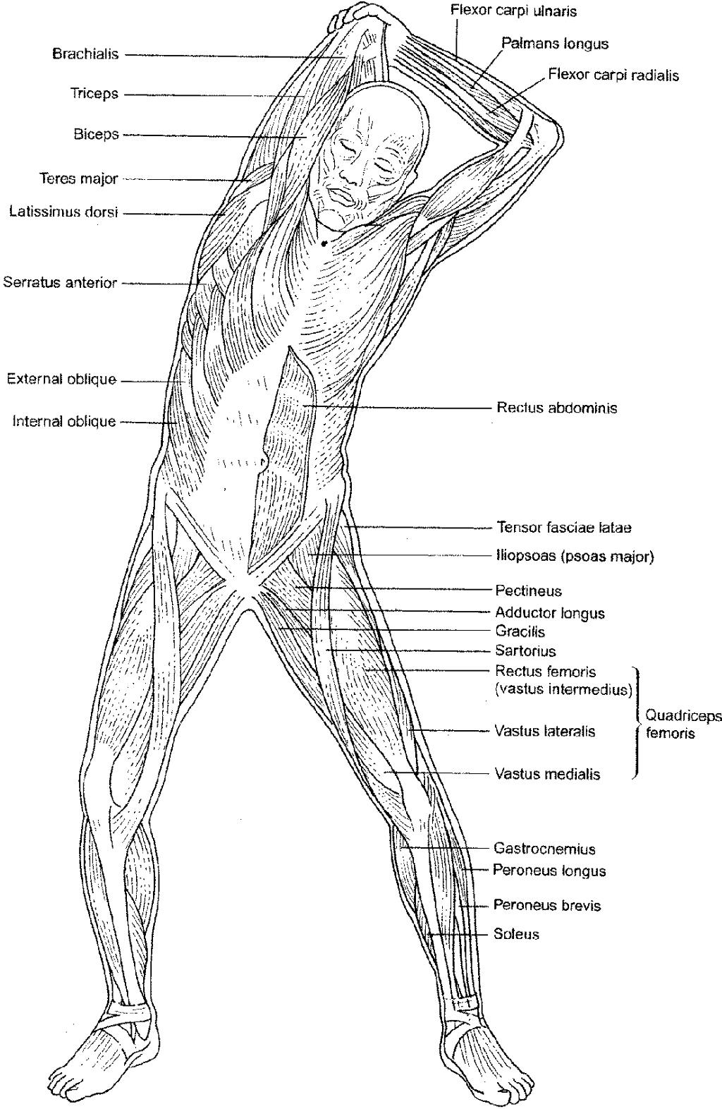 Anatomy coloring #16, Download drawings