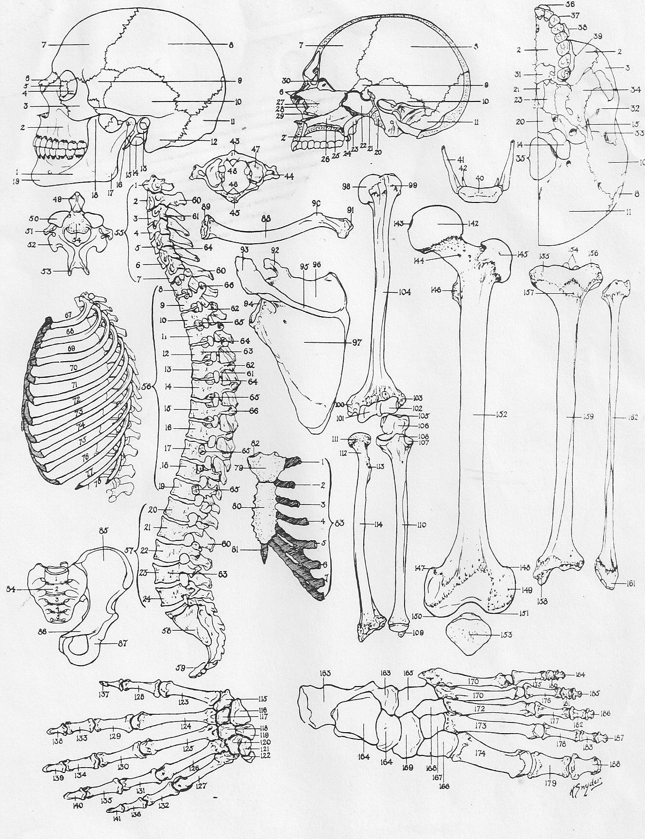 Anatomy coloring #5, Download drawings