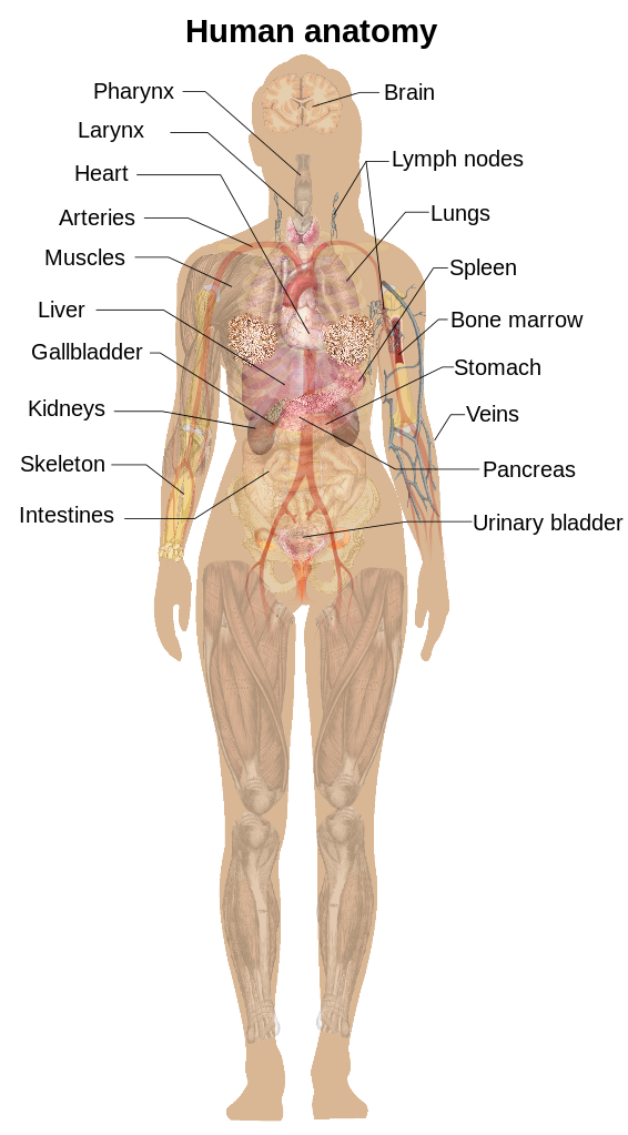 Anatomy svg #20, Download drawings