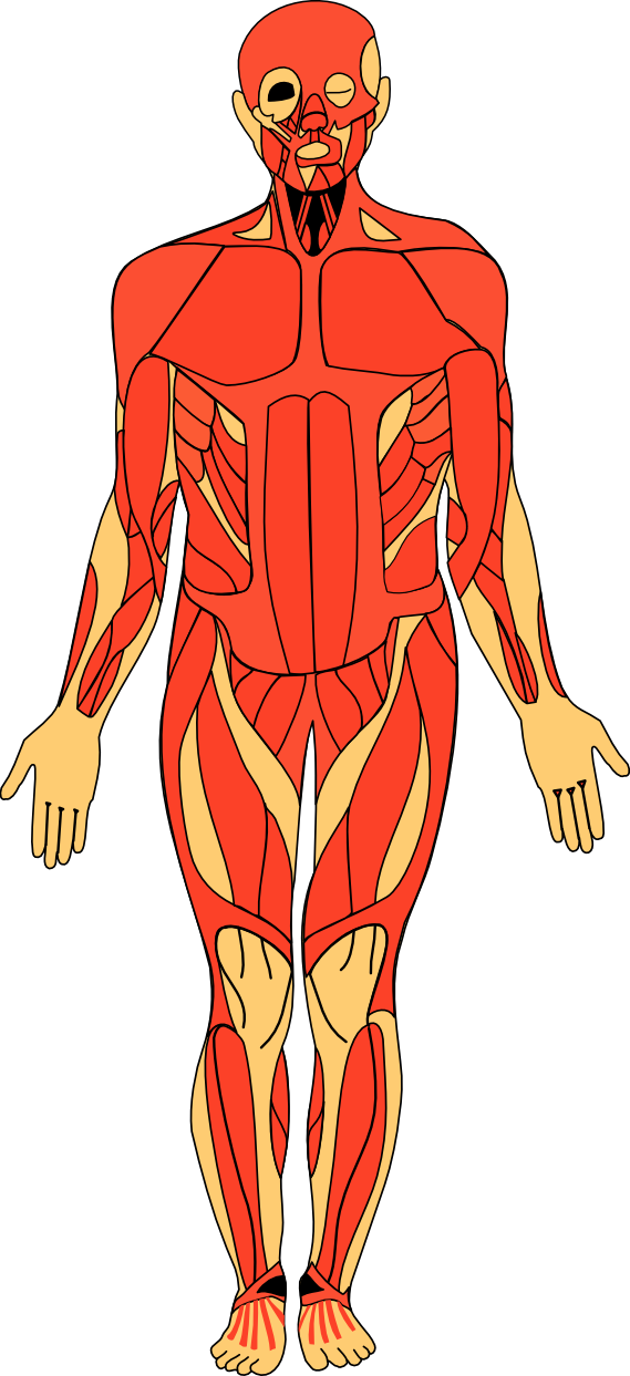 Anatomy svg #14, Download drawings
