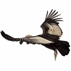 Andean Condor clipart #5, Download drawings