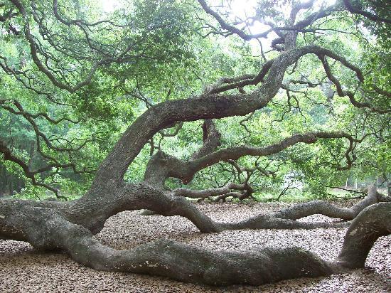Angel Oak Tree svg #13, Download drawings