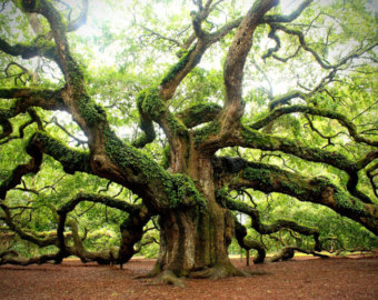 Angel Oak Tree svg #10, Download drawings
