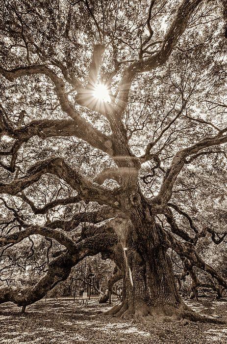 Angel Oak Tree svg #14, Download drawings
