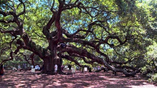 Angel Oak Tree svg #18, Download drawings