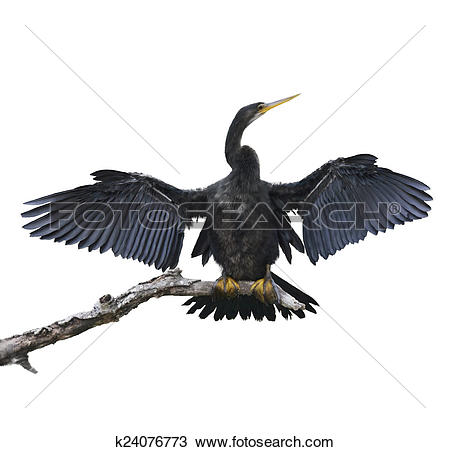 Anhinga clipart #6, Download drawings