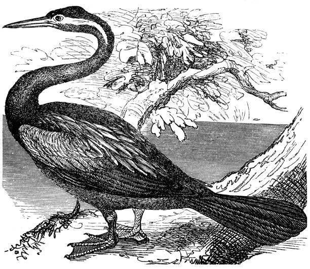 Anhinga clipart #16, Download drawings