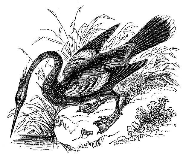 Anhinga clipart #19, Download drawings