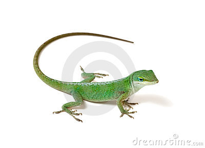 Anole clipart #7, Download drawings