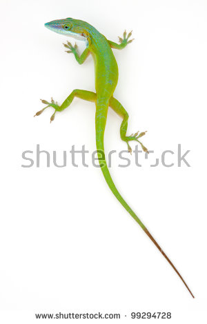 Anole clipart #2, Download drawings