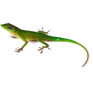 Anole clipart #18, Download drawings
