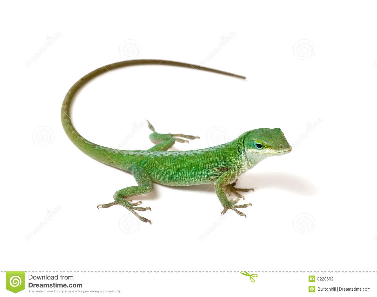 Anole clipart #16, Download drawings