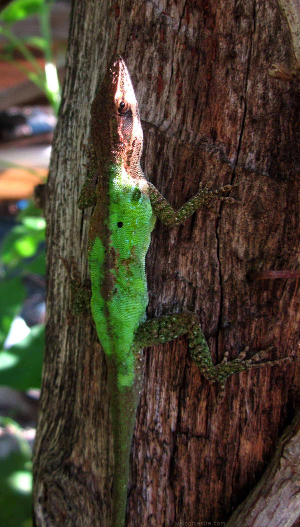 Green Anole coloring #1, Download drawings
