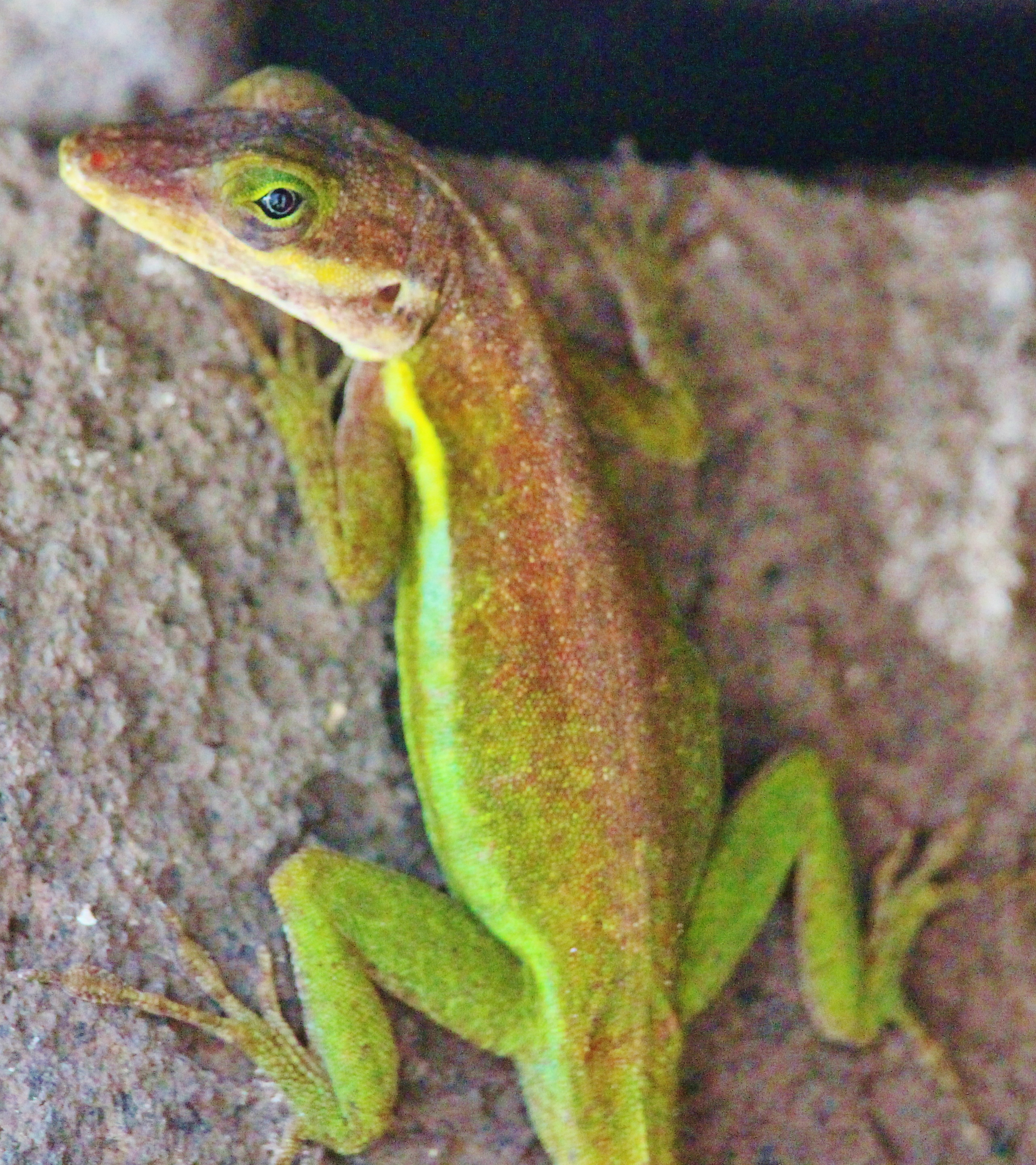 Green Anole coloring #2, Download drawings