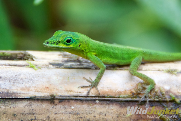 Green Anole svg #11, Download drawings