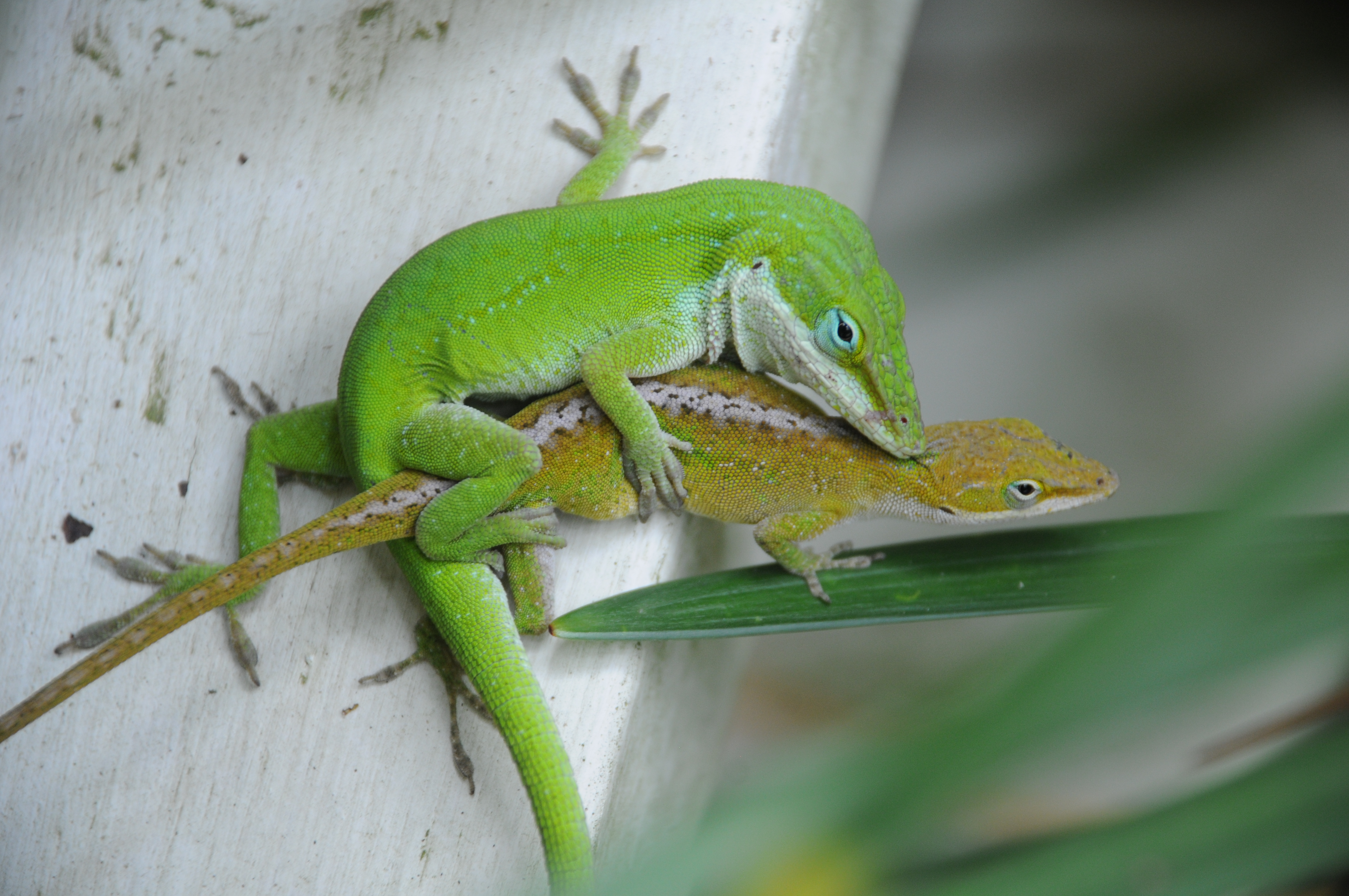 Green Anole svg #19, Download drawings