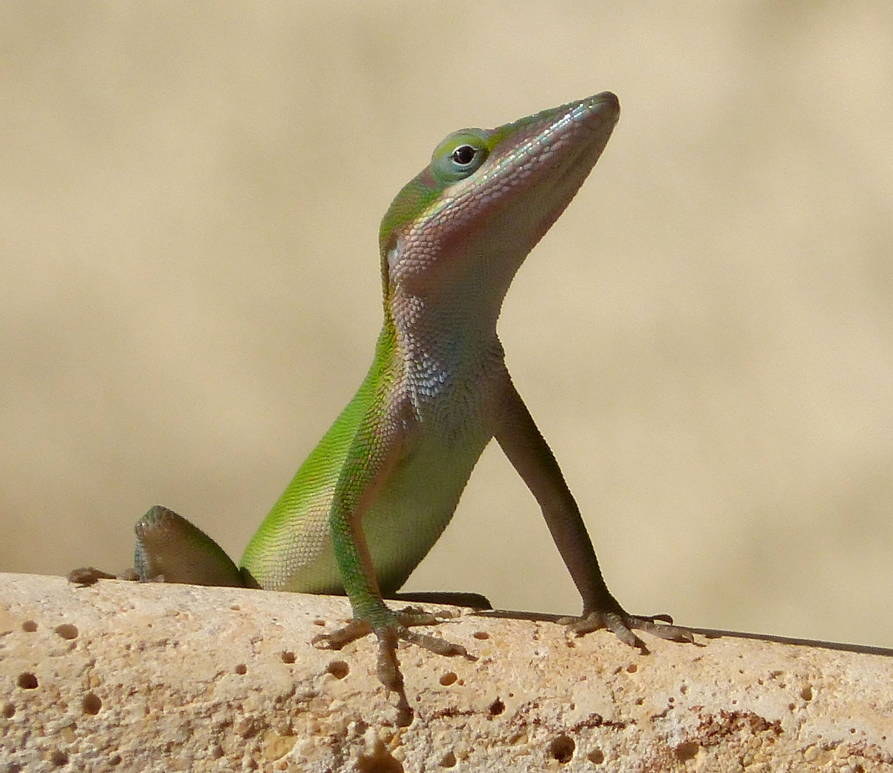 Anole svg #11, Download drawings