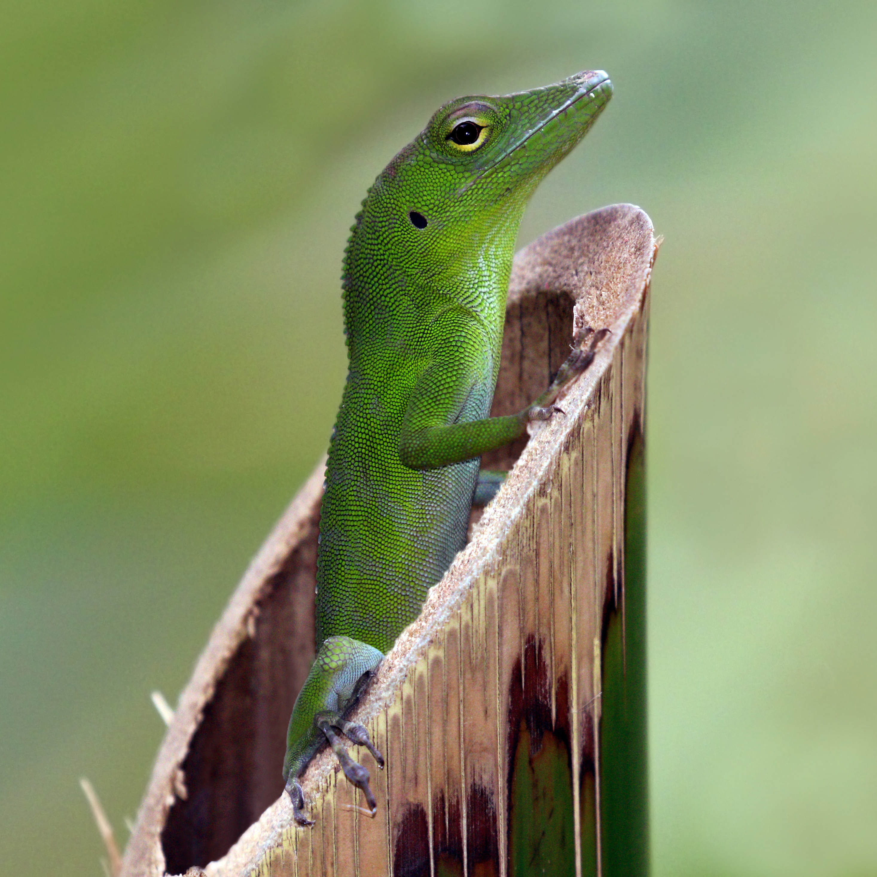 Anole svg #10, Download drawings