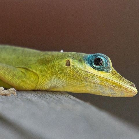 Anole svg #2, Download drawings