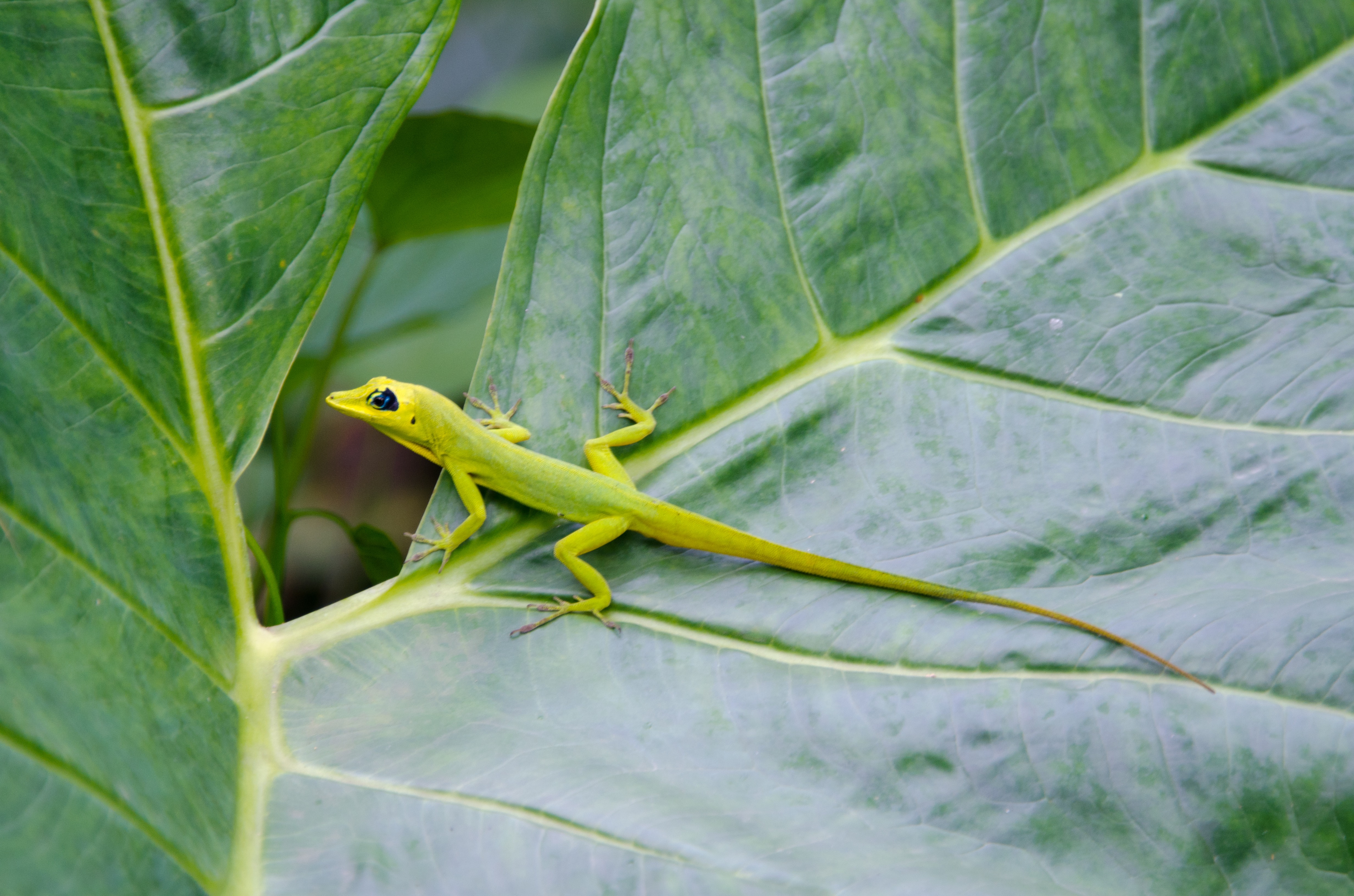 Green Anole svg #5, Download drawings