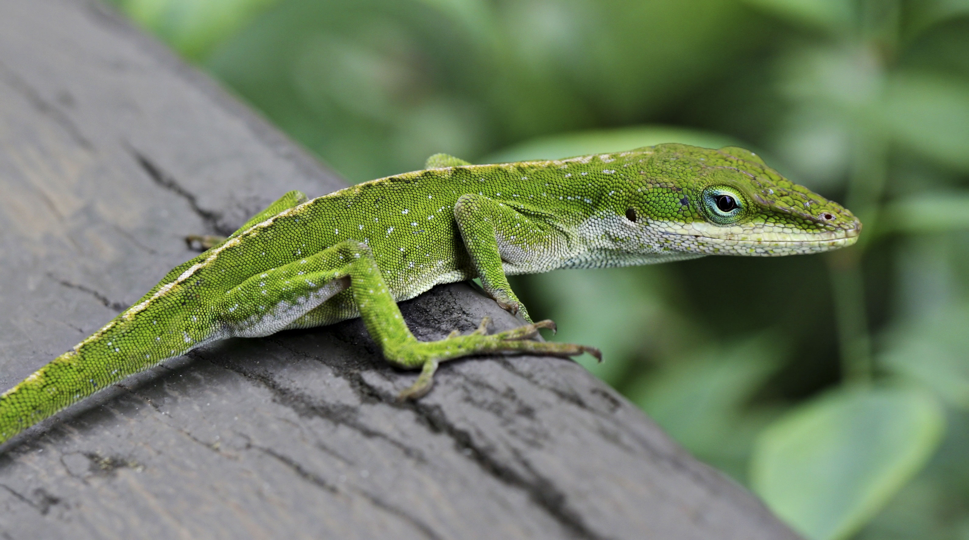 Green Anole svg #17, Download drawings