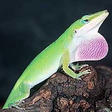 Green Anole svg #18, Download drawings