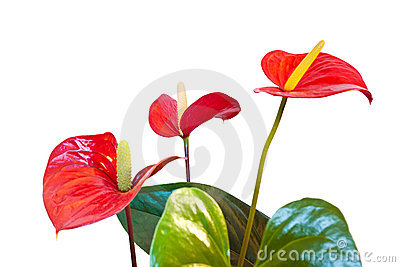 Anthurium clipart #14, Download drawings