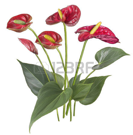 Anthurium clipart #5, Download drawings