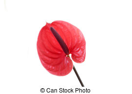 Anthurium clipart #15, Download drawings