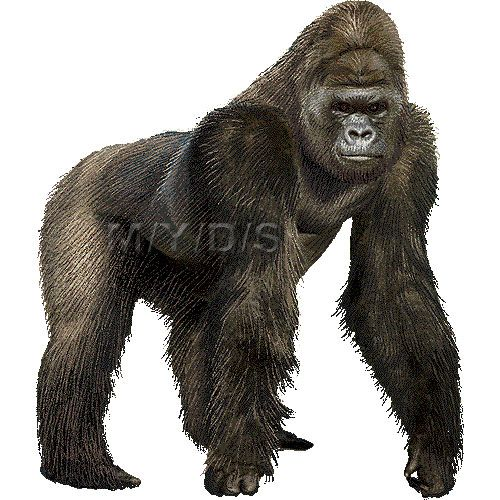 Gorilla clipart #12, Download drawings