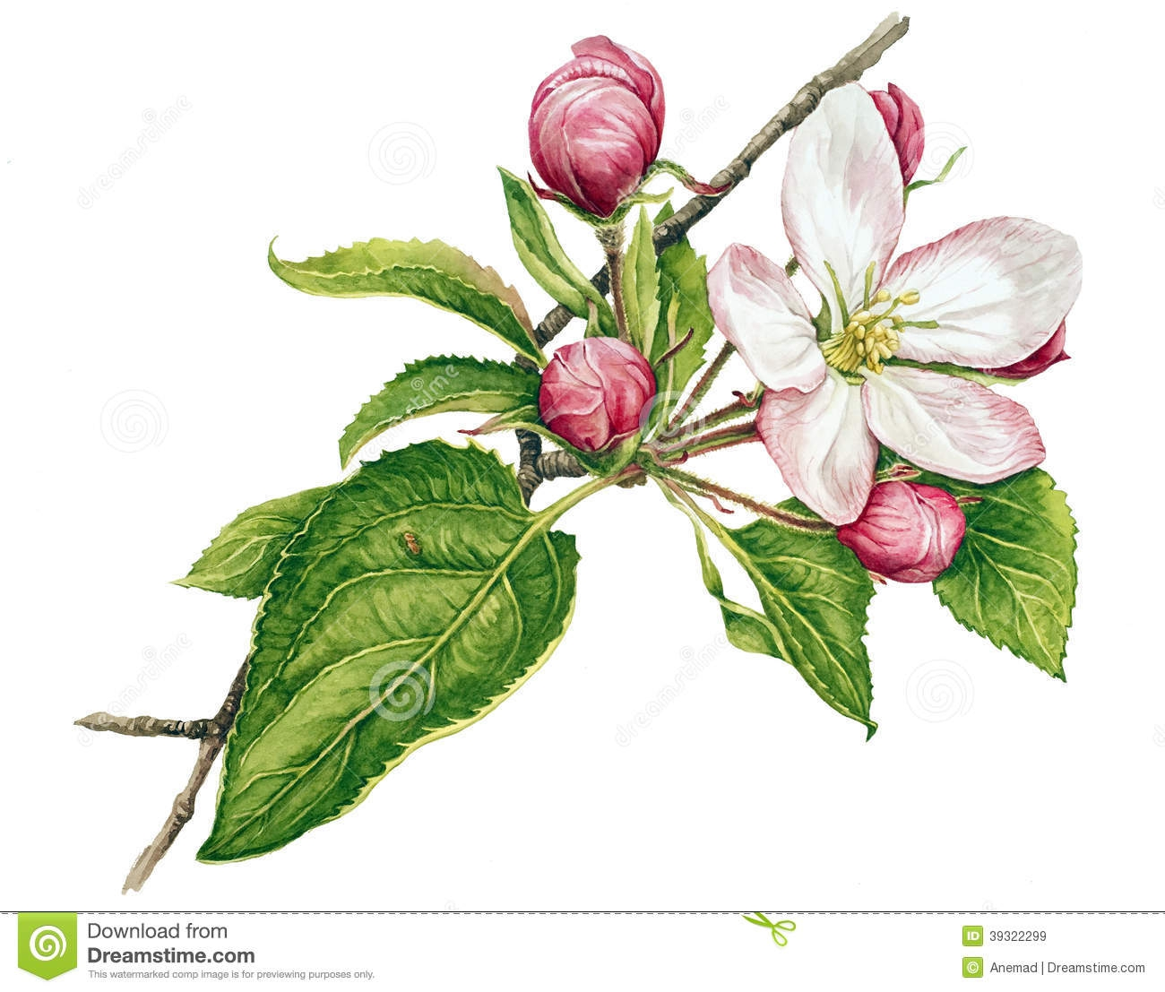 Apple Blossom clipart #2, Download drawings