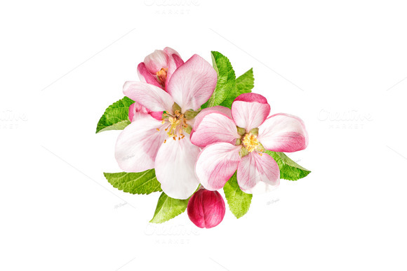 Apple Blossom clipart #6, Download drawings