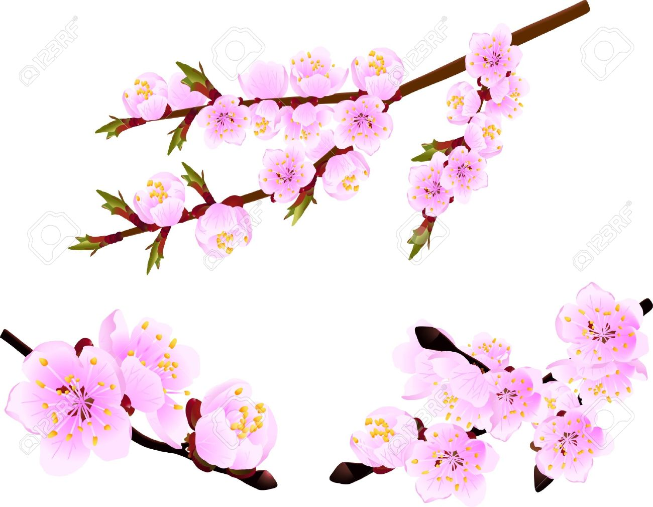 Apricot Blossom clipart #15, Download drawings