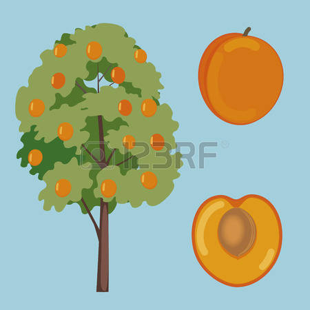 Apricot Tree clipart #7, Download drawings