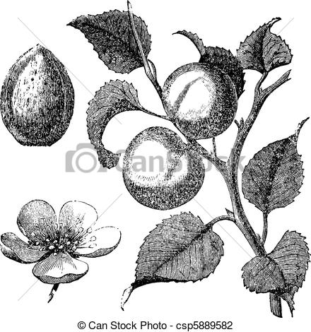 Apricot Tree clipart #9, Download drawings