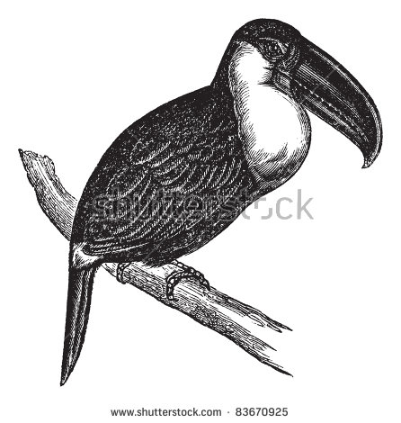 Aracari clipart #20, Download drawings
