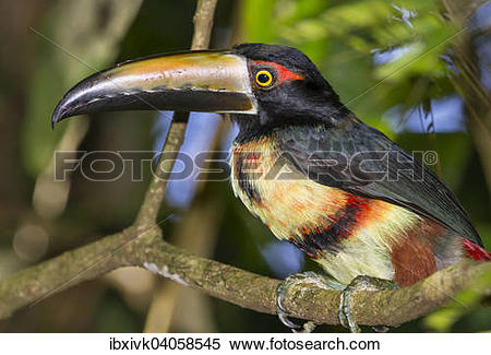 Aracari clipart #10, Download drawings